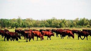 Разведение коров мясного направления