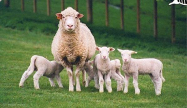 Овцеводство как бизнес: план для начинающих