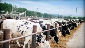 Разведение коров как бизнес в России: как планировать и осуществлять