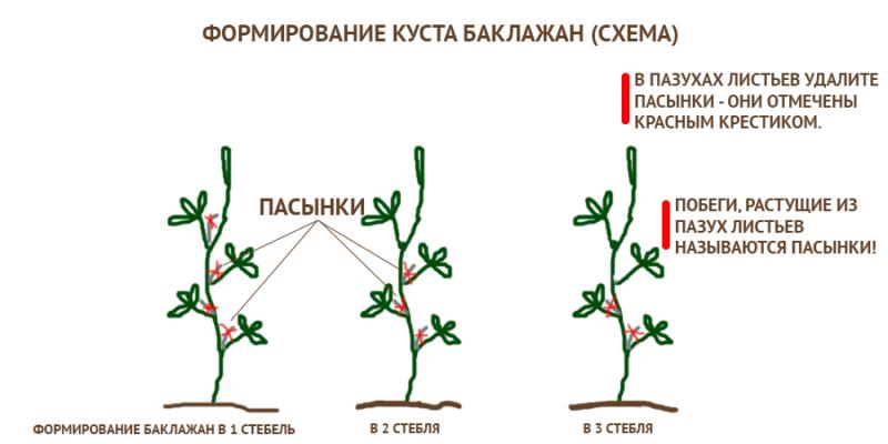 Схема формирования баклажан