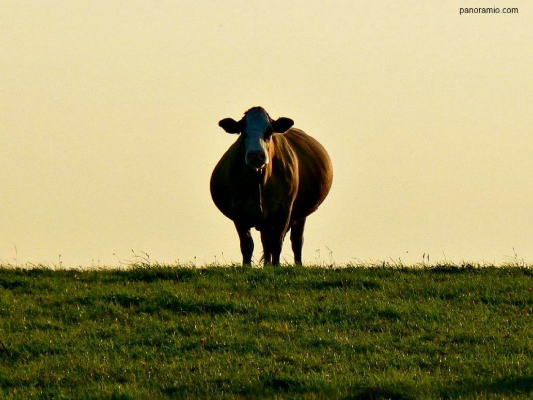 Молочная корова содержание уход кормление доение подготовка к отелу