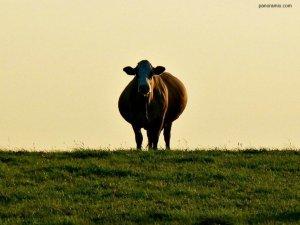 Кормление коровы перед отелом в личном хозяйстве: особенности рациона