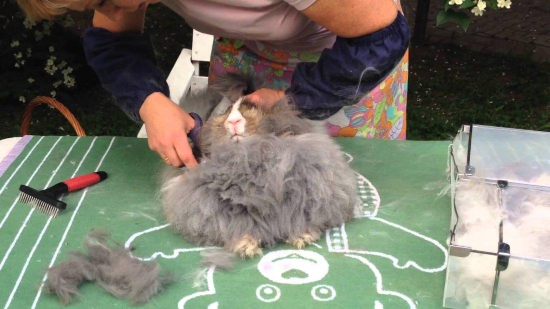 Стрижка ангорского кролика
