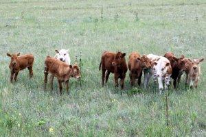 Телята на откорм в домашних условиях: грамотное кормление и уход за животными