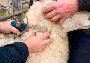 Вакцинация овец