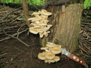 Выращивание грибов вешенки в домашних условиях на пнях: правильная организация процесса
