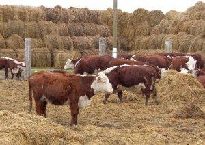 Характерные особенности, мясные породы коров, выращивание