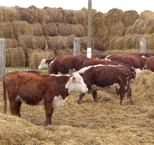 Выращивание мясных пород коров