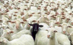 Баран среди овец