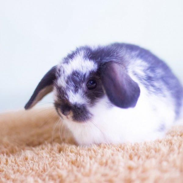 Декоративный кролик на ковре