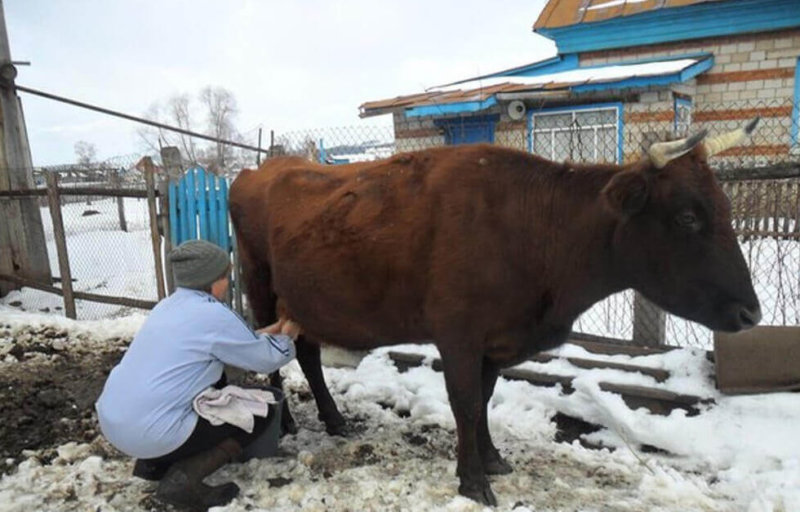 Доение коровы зимой