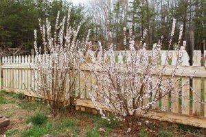 Формирование войлочной вишни