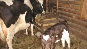 Корова с теленком в личном хозяйстве