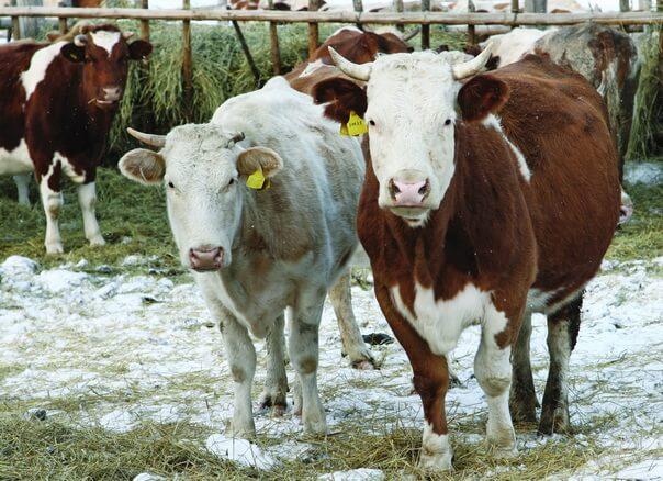 Дойка коров зимой