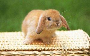 Кролик гуляет по квартире
