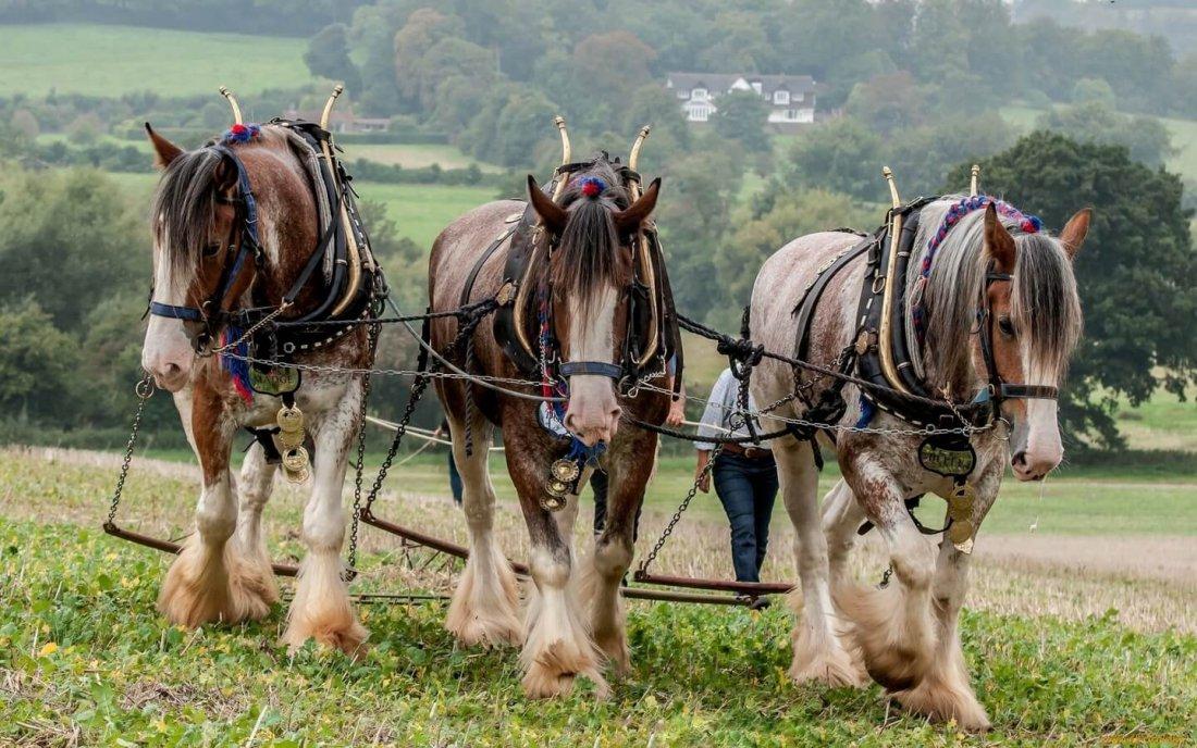 Лошади - тяжеловозы