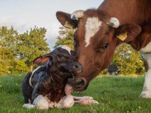 Отел коровы: это ответственный этап для животновода