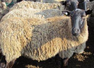 Овцы на племя