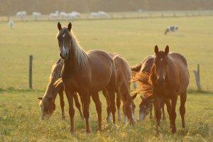 Племенное коневодство