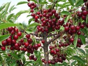 Обрезка вишни: когда и как ее правильно делать, уход и размножение