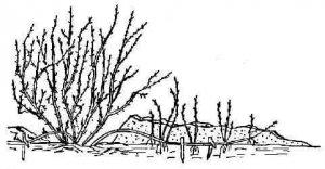 Размножение войлочной вишни отводками