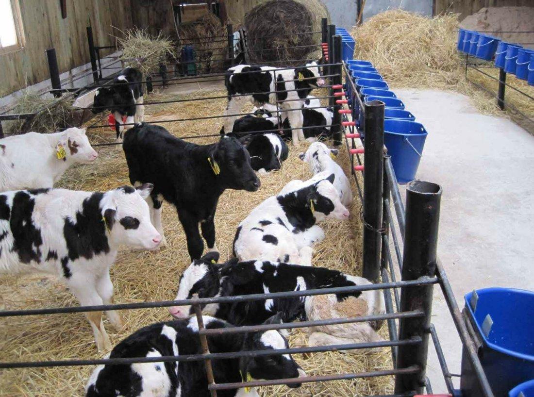 Телята отдельно от коров в коровнике