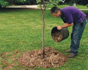 Яблоня: удобрение весной для получения отличного урожая