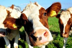Выращивание коров