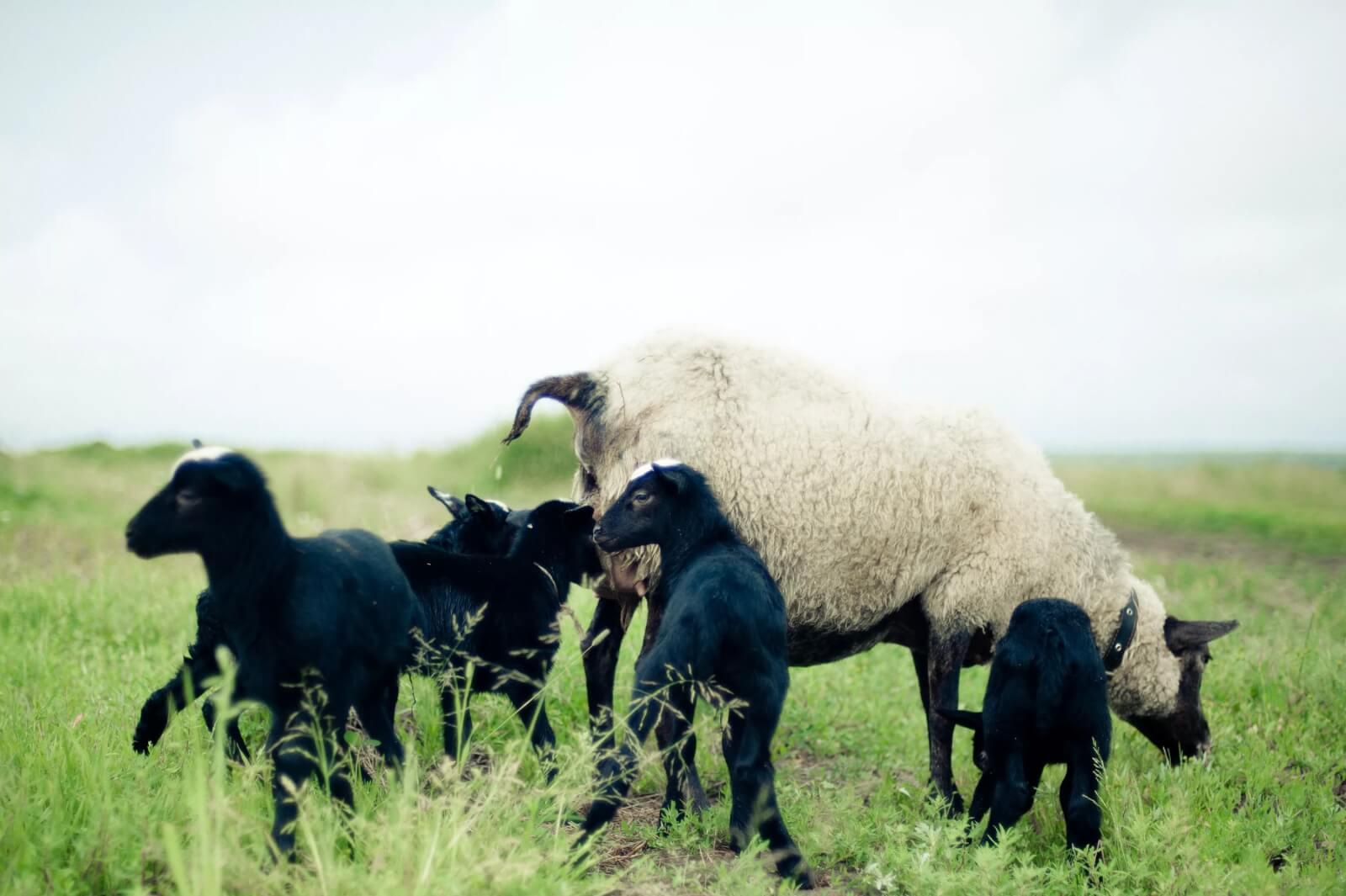 Овцы романовской породы: размножение и нюансы выведения
