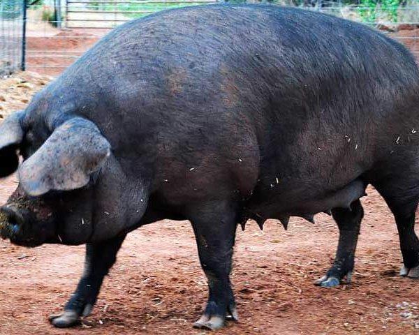 Черная порода свиней