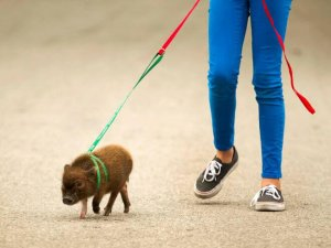Декоративная свинка на прогулке