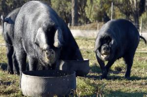 Кормление черных свиней