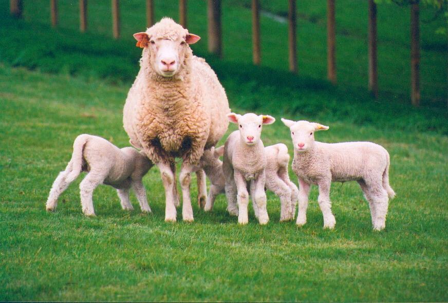 Выделка овечьих шкур в домашних условиях