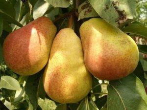 Уход за грушами весной: условия и посадка