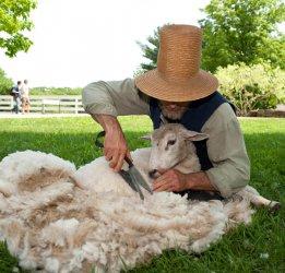 От того, когда стричь овец, зависит качество стрижки