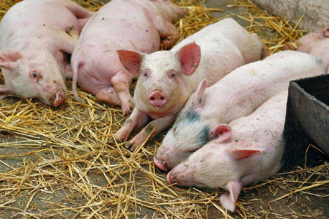 Чума у свиньи