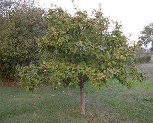 Дерево мушмулы