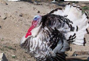 Индюки: разведение и содержание в домашних условиях, характеристика птицы