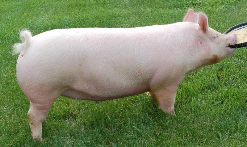 Йоркширская порода свиней