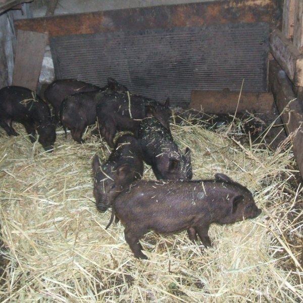 Кармалы - уникальная порода свиней