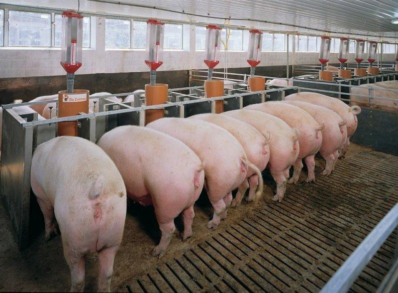 Кормление свиней на откорме
