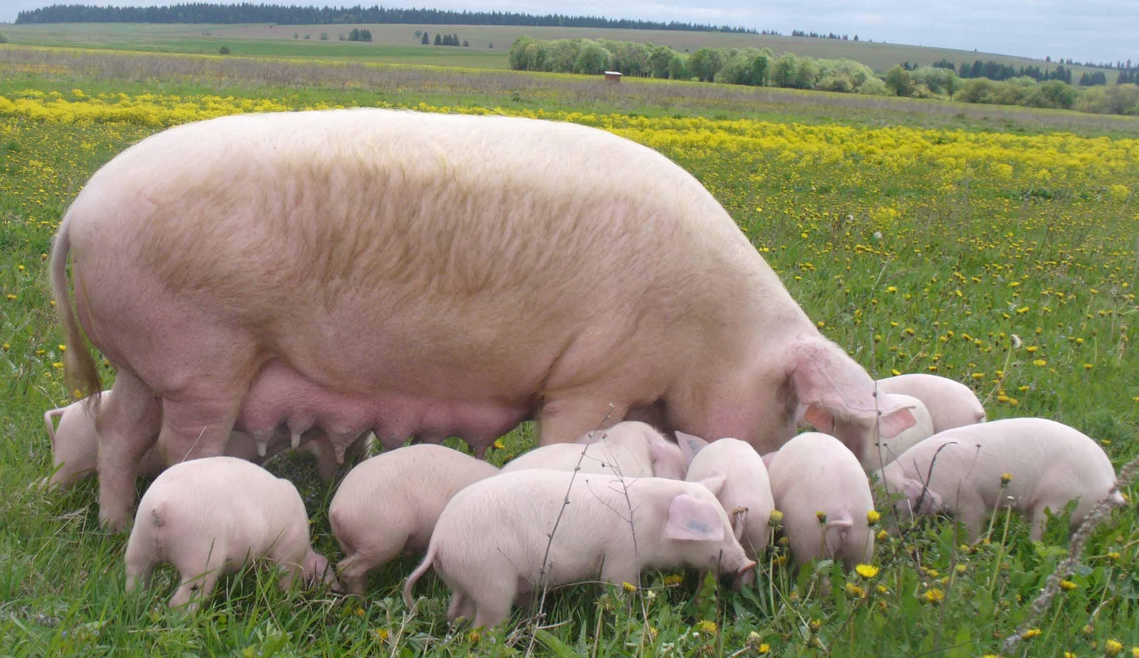 Мясные породы свиней в России: характеристики и особенности