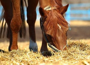 Чем кормить лошадь зимой: нюансы и конкретика