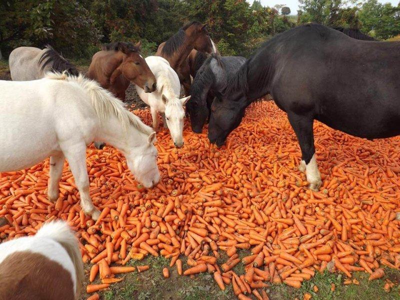 Лошади любят морковь