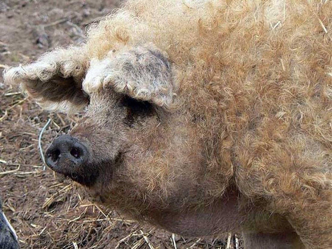 Мангалицкая сальная порода свиней