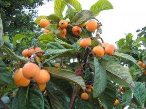 Мушмула: как вырастить в домашних условиях, описание растения