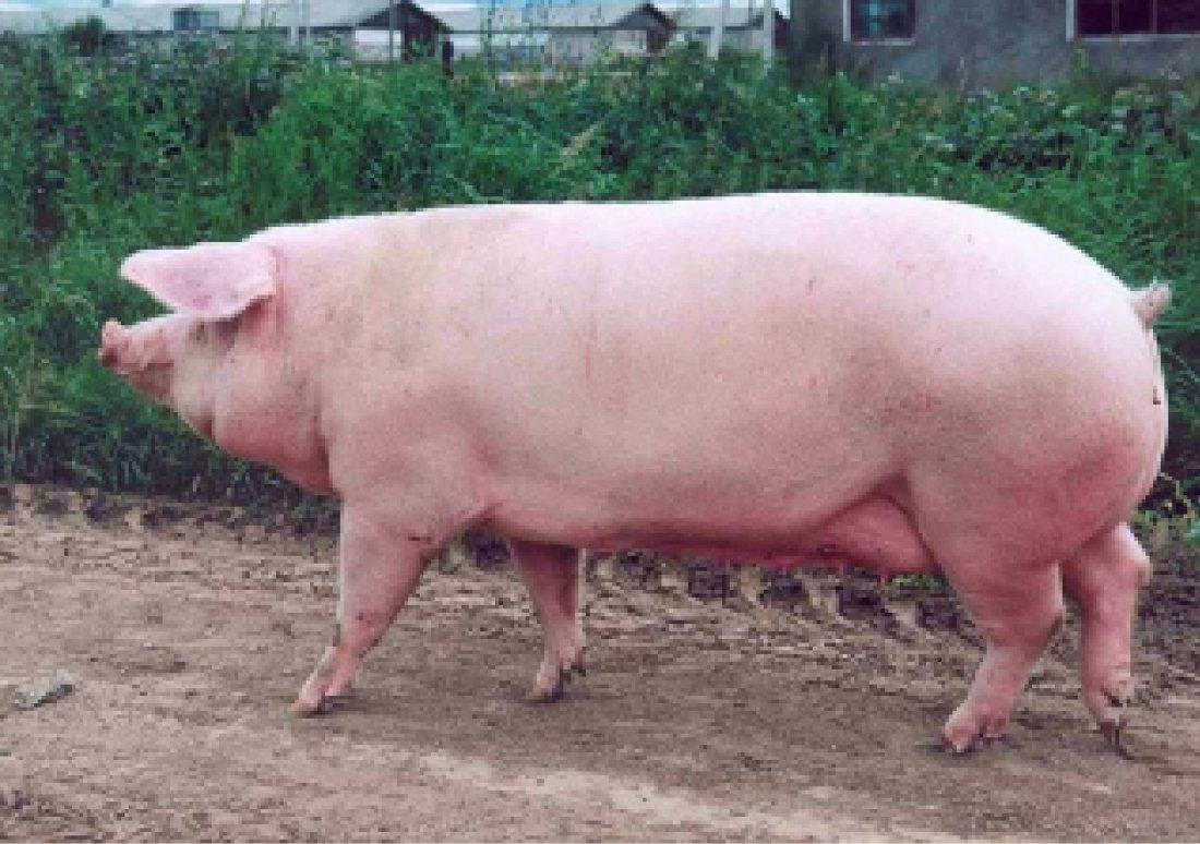 Мясная порода свиней Ландрас