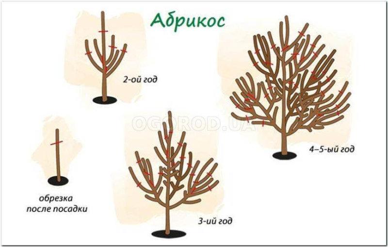 Обрезка абрикоса в первые годы