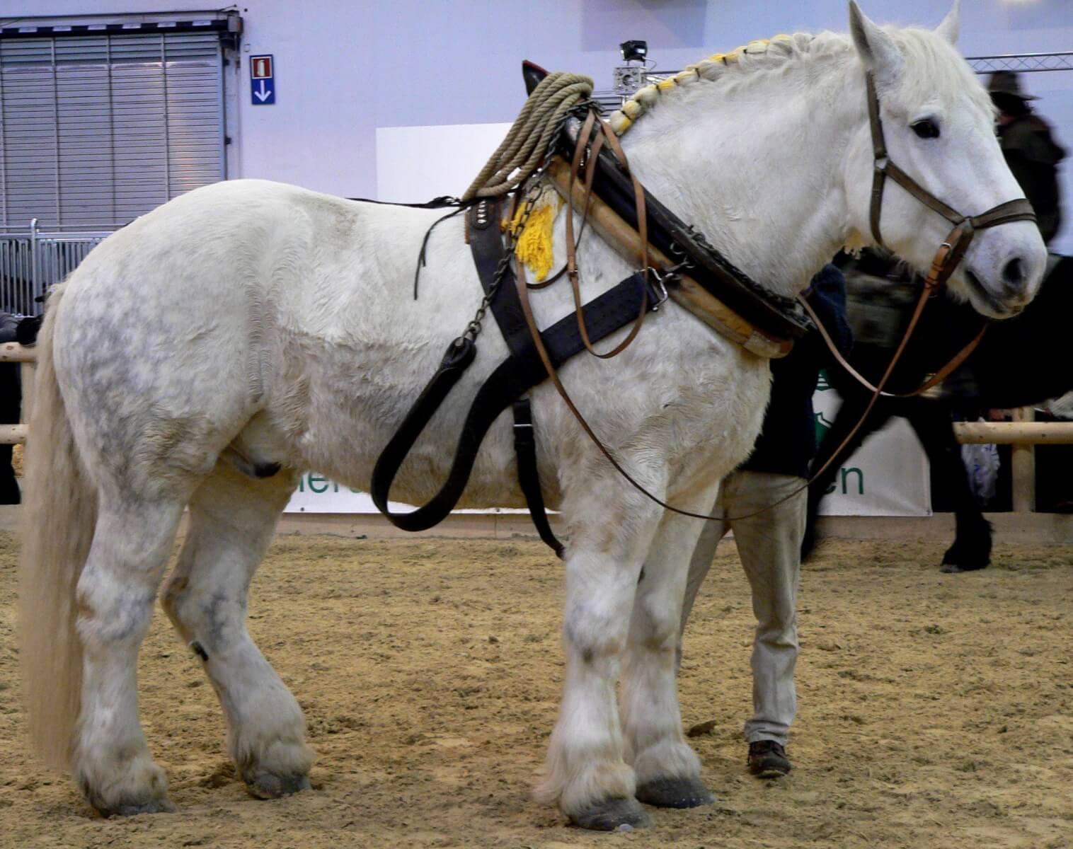 Першеронская порода лошадей, где использует их человек