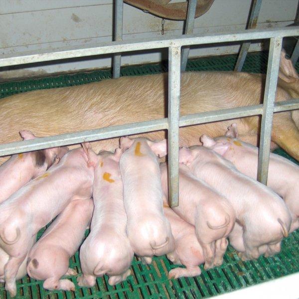 Племенное свиноводство